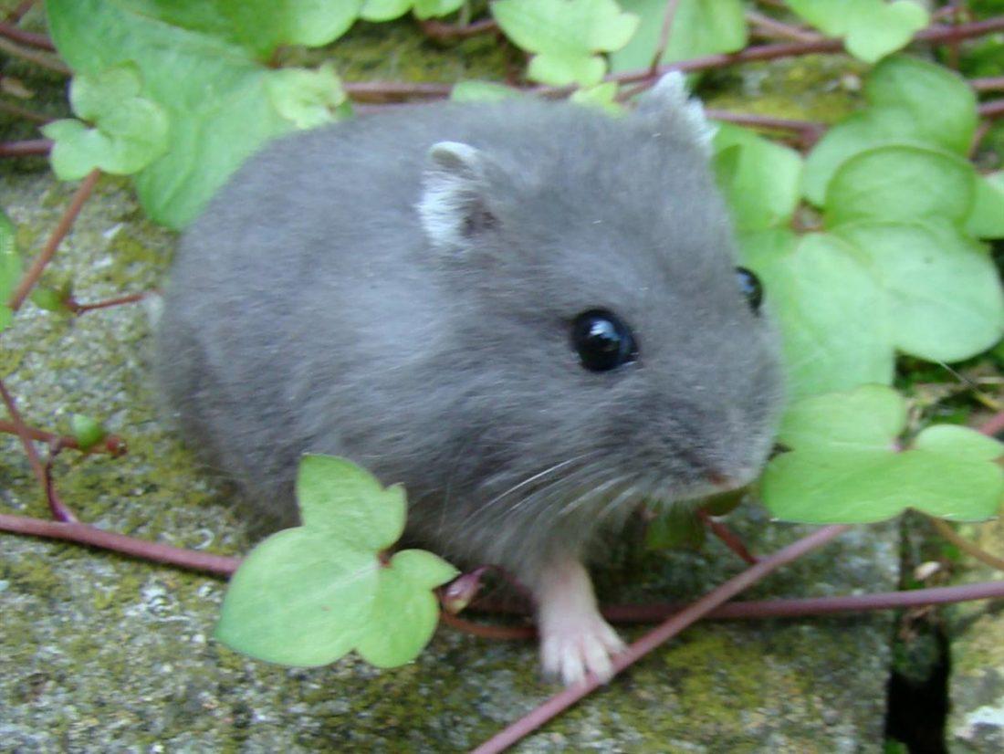 Savoir élever convenablement un hamster nain