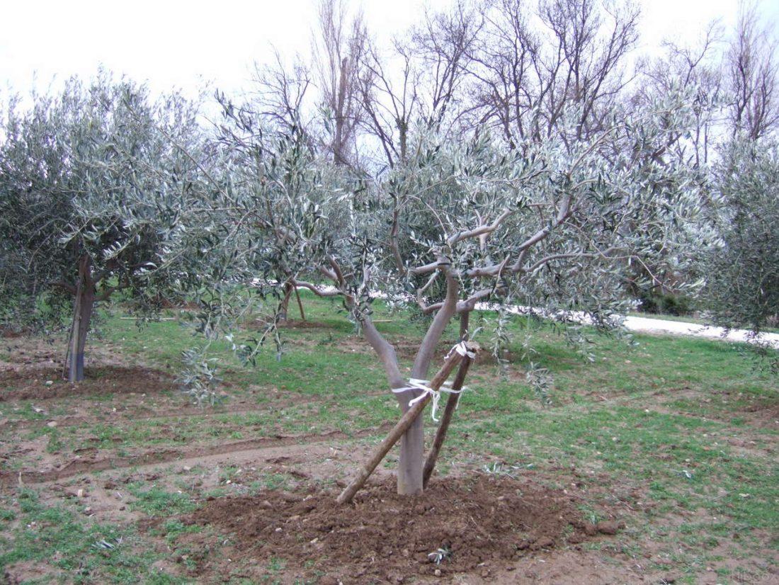 Comment tailler olivier ?