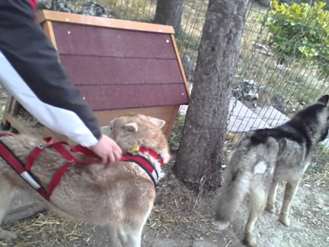 Comment mettre et ajuster un harnais a son chien !