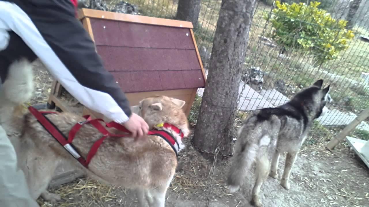 Comment mettre un harnais à son chien facilement et